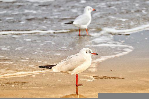 Gulls, Birds, Sea Birds, Sea, Baltic Sea, Beach, Sand