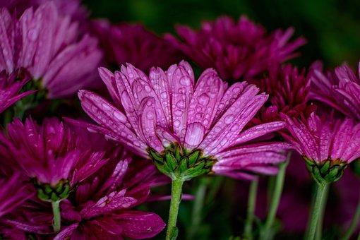 Flowers, Chrysanthemum, Drops, Dew, Rain, Petals, Buds
