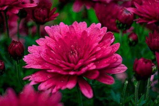 Flower, Chrysanthemum, Drops, Dew, Rain, Petals, Buds