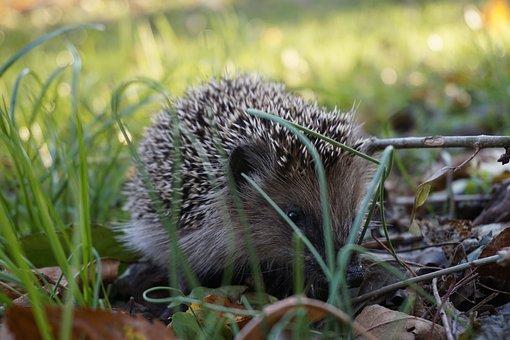 Hedgehog, Prickly, Grass, Animal, Cute, Spur, Garden