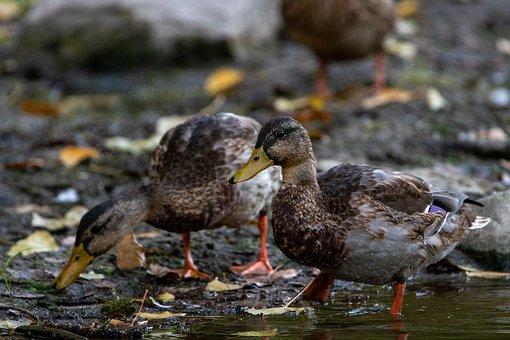 Stone, Animal, Ducks, Cute, Small, Fluffy