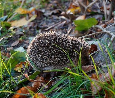 Hedgehog, Animal, Pet, Spiny Mammal, Mammal, Garden