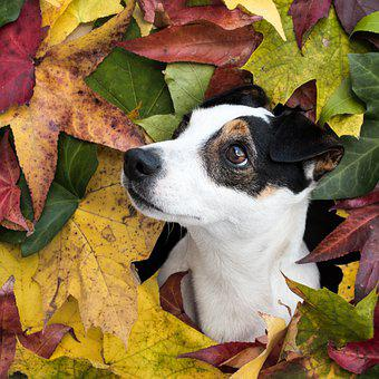 Jack Russell Terrier, Dog, Pet, Animal, Canine, Mammal
