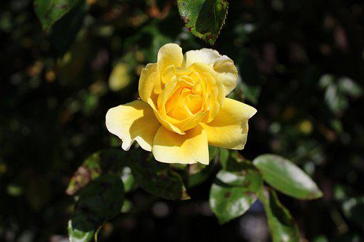 Rose, Yellow, Nature, Flower, Bloom, Blossom, Floral