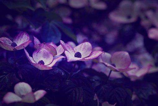 Flowers, Bush, Dogwood, Ornamental Shrub, Bloom, Nature