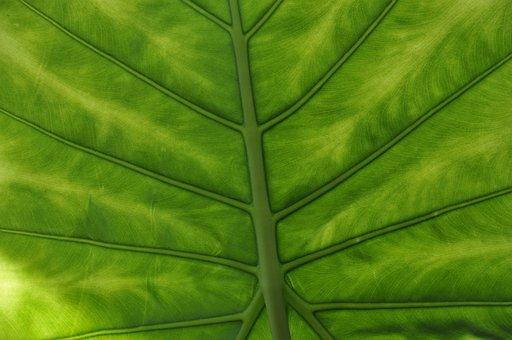 Leaf, Foliage, Alocasia, Veins, Green, Plants, Flora