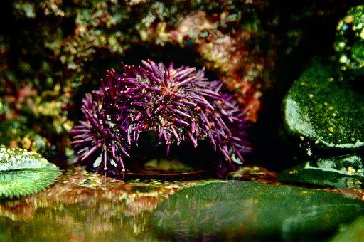 Urchin, Sea Urchin, Gourmet, Sea Food, Shell Fish
