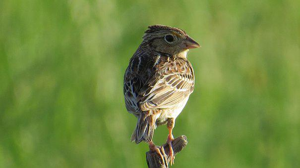 Grasshopper Sparrow, Bird, Animal, Sparrow, Wildlife