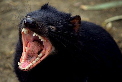 Tasmanian Devil, Tasmania, Devil, Marsupial, Endangered