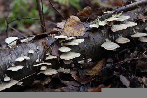 Mushrooms, Wood, Tree, Birch, Trunk, Autumn, Fallen