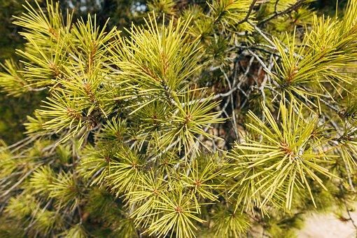 Pine, Green, Tree, Nature, Plant, Branch, Fir Tree