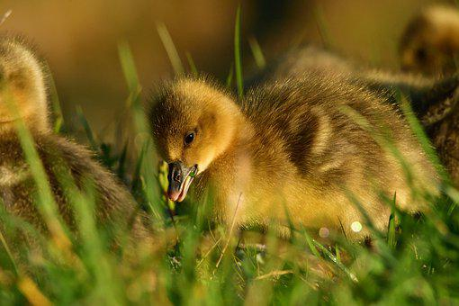 Gosling, Goose, Bird, Chick, Young Goose, Waterfowl