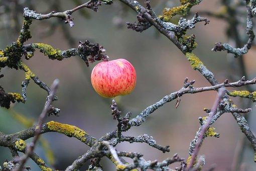 Apple, Single Copy, Red, The Last Apple, Tree, Fruit