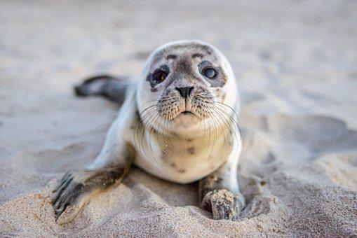 Seal, Pup, Animal, Baby Seal, Mammal, Marine Mammal