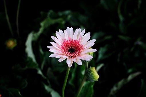 Barberton Daisy, Flower, Plant, Bloom, Blossom