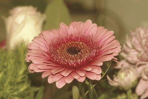 Barberton Daisy, Flower, Plant, Gerbera, Bloom, Blossom