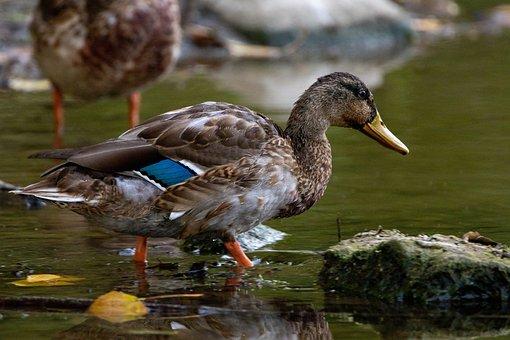 Duck, Bird, Lake, River, Festhers, Bill, Plumage, Avian