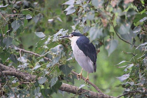 Night Heron, Bird, Water Bird, Aquatic Bird, Animal