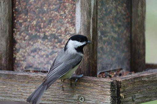 Black-capped Chickadee, Bird, Bird Feeder, Songbird