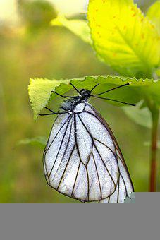Black-veined White, Butterfly, Insect, Aporia Crataegi