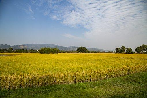 Rice Field, Farm, Rural, Crop, Cropland, Farmland