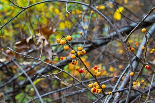 Oriental Bittersweet, Berries, Plant, Fruit