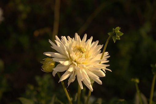 Dahlia, White Dahlia, Blossom, Bloom, Flower, Garden
