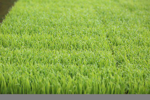 Rice, Grass, Field, Dew, Seedling, Agriculture