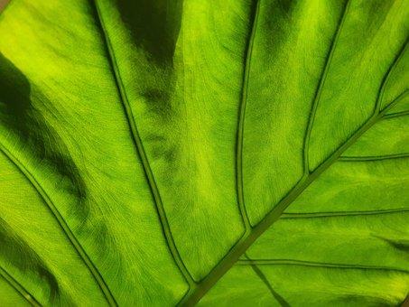 Alocaisa, Plant, Leaf, Veins, Leaf Veins, Nature, Green