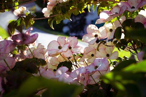 Dogwood, Flowers, Bush, Shrub, Bloom, Blossom