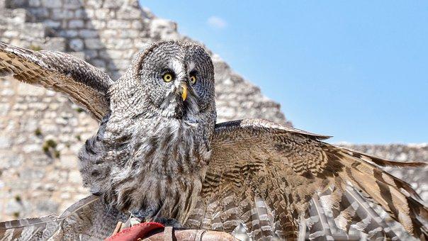 Great Gray Owl, Bird, Feathers, Spread, Wings, Portrait