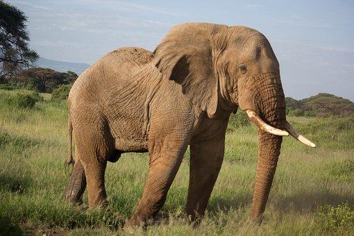 Elephant, Animal, Safari, Elephant Trunk, Tusks, Mammal