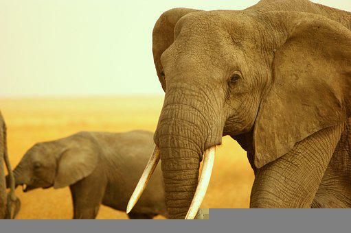 Elephant, Tusks, Mammal, Safari, Wildlife, Africa