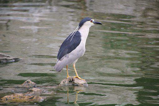 Bird, Night Heron, Lake, Water Bird, Aquatic Bird