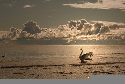 Swan, Bird, Sea, Waterfowl, Water Bird, Aquatic Bird