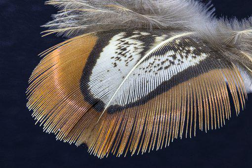 Feather, Pheasant Feather, Bird Feather, Plume, Fluffy