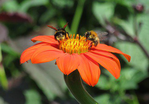 Bees, Nectar, Flower, Orange, Pollinators, Bloom
