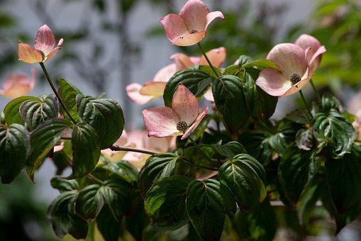 Dogwood, Flowers, Bush, Bloom, Blossom
