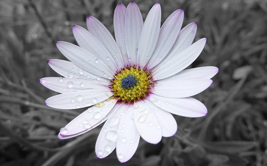 Daisy, Flower, Dew, Dewdrops, Water Droplets, Petals