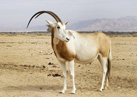 Scimitar Oryx, Animal, Desert, Sahara Oryx