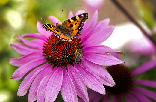 Butterfly, Bee, Flower, Small Tortoiseshell, Insects