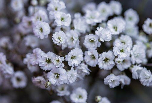 Gypsophila, Flowers, Plant, White Flowers, Bloom
