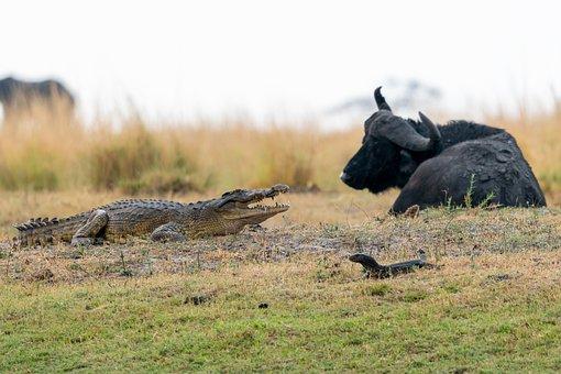 Buffalo, Crocodile, Safari, Lizard, Animals, Mammal
