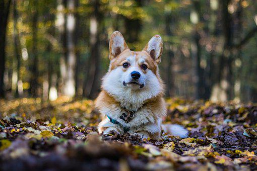 Dog, Corgi, Pet, Pembroke Welsh Corgi, Animal
