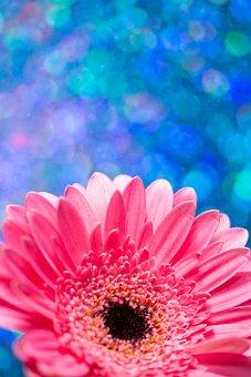 Barberton Daisy, Flower, Plant, Gerbera, Pink Flower