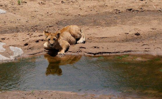 Lion, Feline, Cub, Mammal, River, Reflection, Predator