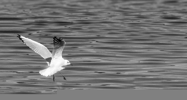 Seagull, Landing, Water, Wings, Plumage, Feathers