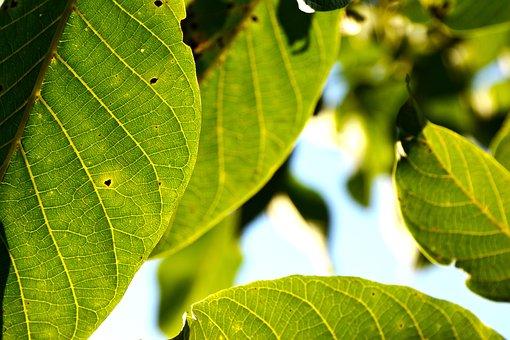 Leaves, Foliage, Tree, Veins, Leaf Veins, Green, Plants