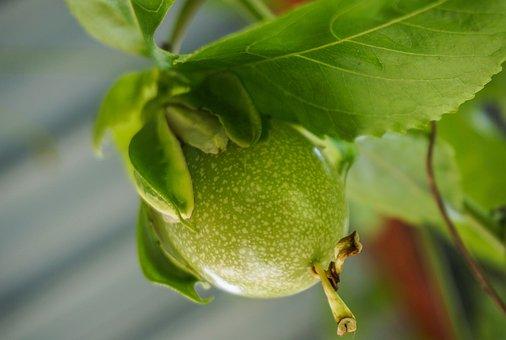 Passion Fruit, Fruit, Plant, Tropical Fruit, Food