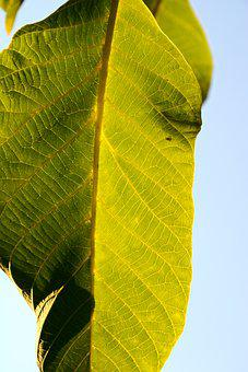 Leaf, Veins, Green, Leaf Veins, Leaf Details, Close Up